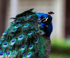 peacock cleaning feathers